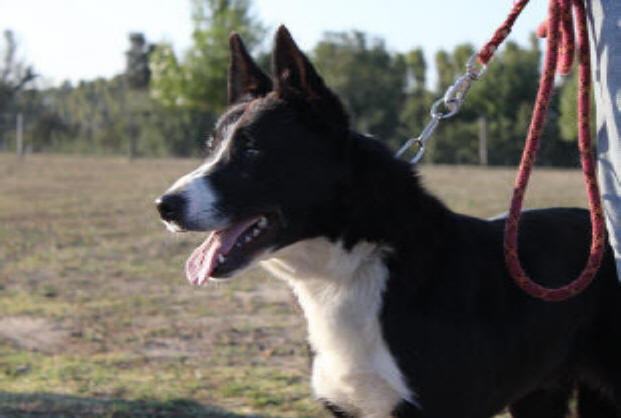 vend border collie