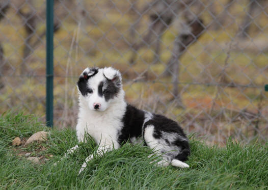 Chiot border collie bleu merle