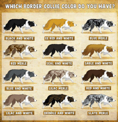 Les couleurs du Border collie