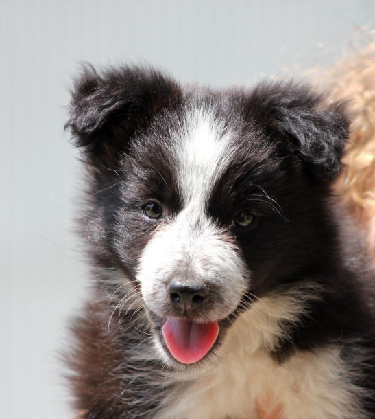 Chiot Border collie � poil long