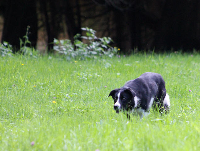 Border collie Isds dans l'ain