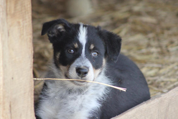 Malvi�s Border collie