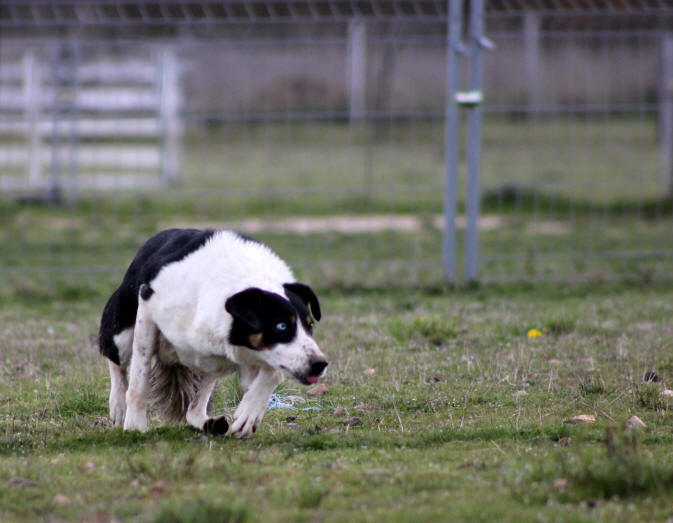 Border collie dressage.