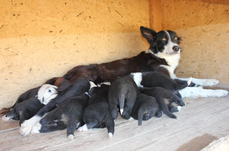 annonces border collie