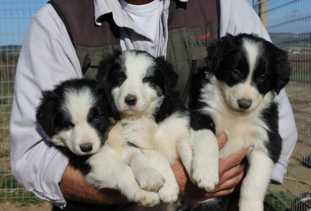Border collie a vendre