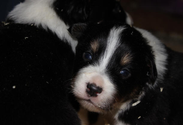 Border collie � donner
