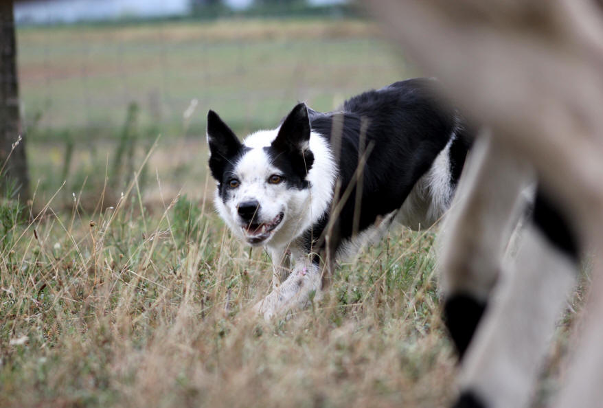 France Border collie