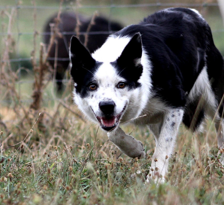 Border collie poil ras
