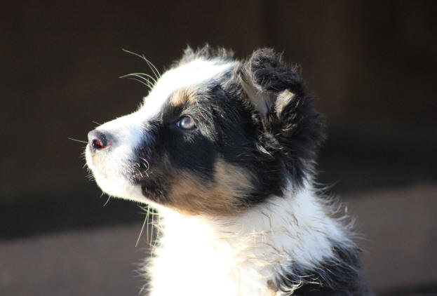 Photo chiot Border collie