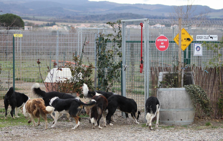 Chiots Border collie � vendre.