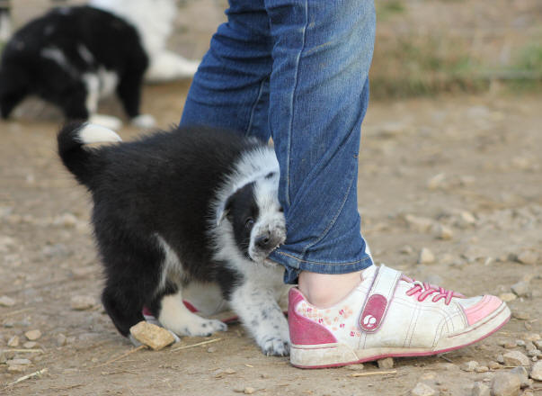 border collie gard