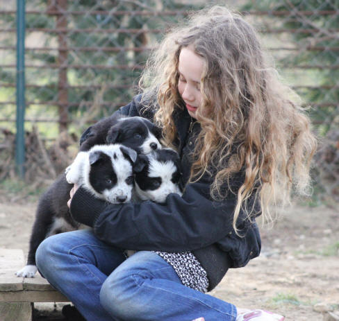 Chiot Border collie Lof