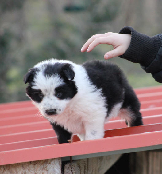 Border collie chiot.