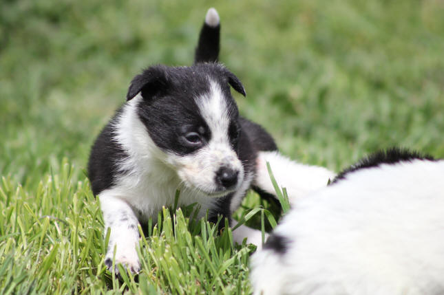 Images Border collie