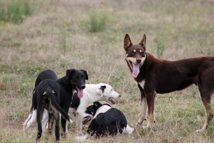 Border collie et Kelpie.