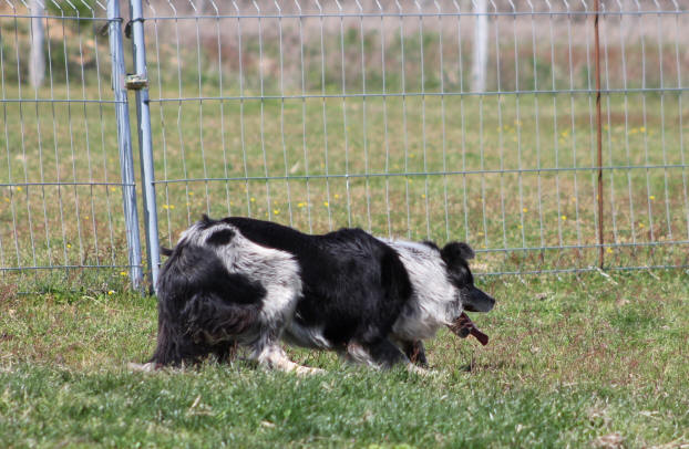Concours Border collie