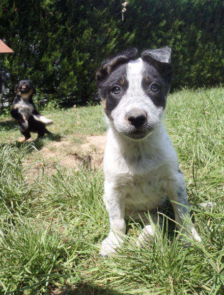 Chiots Border collie a vendre.