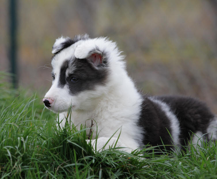 Border collie Lauraguel