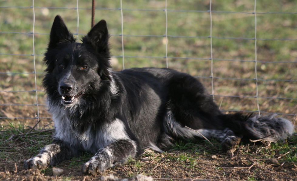 �levage de border collie dans l'aude