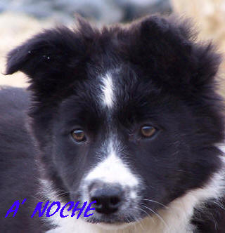 b�b� border collie