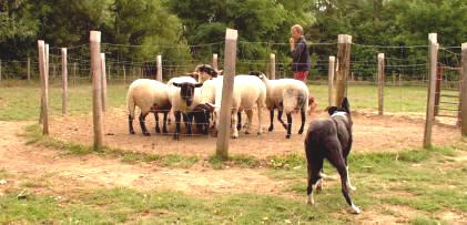 dressage de border collie au cercle