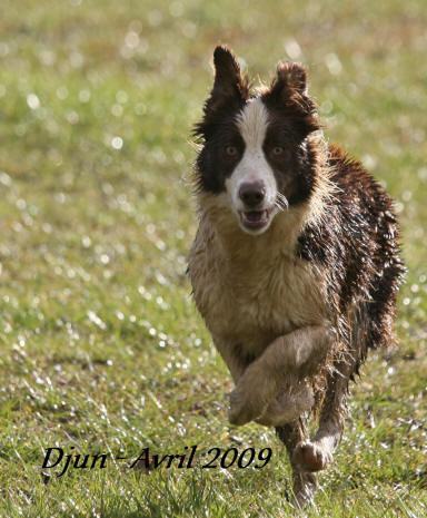 annonce chiots border collie, vente de chiots border collie