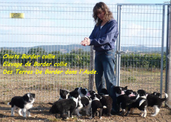 donne chiot border collie