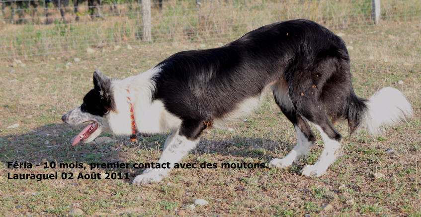 Le dressage du Border collie au troupeau