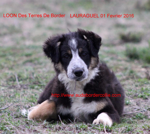 Eleveur de Border collies