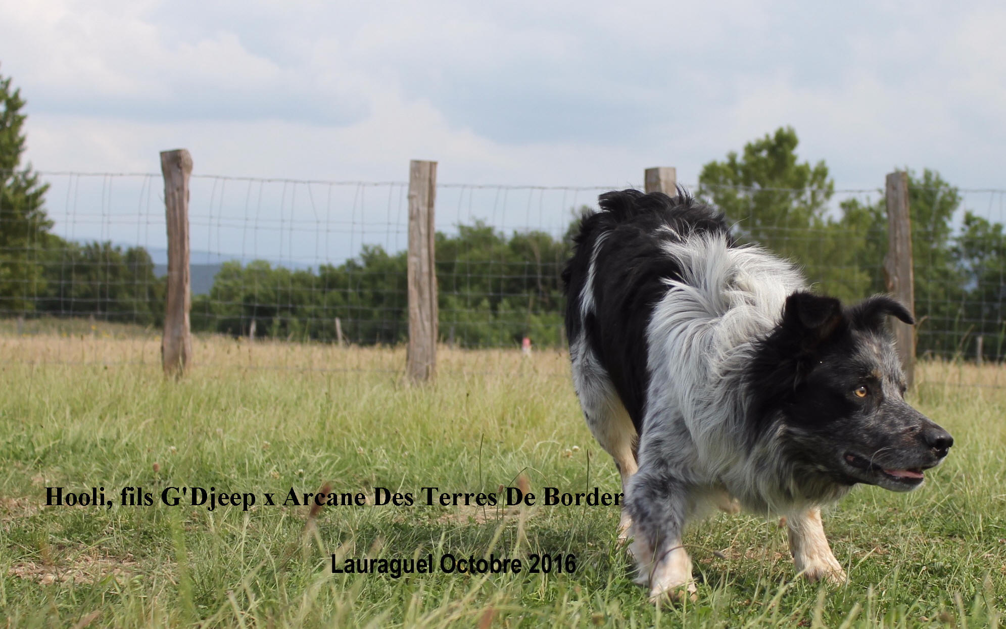 Occitanie Border collie