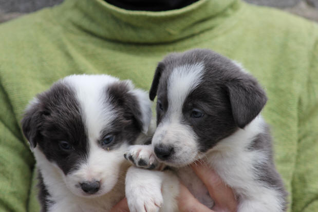 chiot border collie a donner