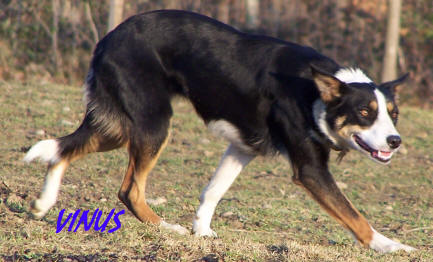 Elevage de border collies