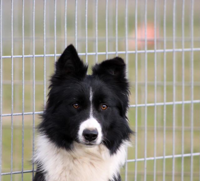 club de race du border collie