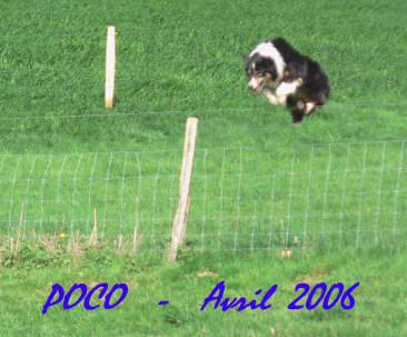 Border collie agility